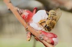 Honey Bee Collecting Nectar From Apple florece Fotografía de archivo libre de regalías