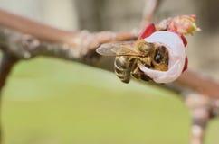 Honey Bee Collecting Nectar From Apple florece Foto de archivo