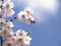 A honey bee collecting nectar from a blossom. A honey bee captured in mid flight collecting nectar from a spring blossom tree Stock Image