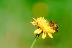 Honey bee collecting nectar from dandelion flower Royalty Free Stock Image