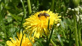 Honey bee collecting nectar on dandelion. Flying insect walking, jumping and searching nectar on the yellow flower stock footage