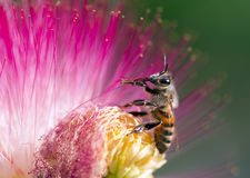 Honey bee collecting nectar Stock Photography