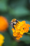 Honey bee. Collecting nectar from an orange flower Royalty Free Stock Photo