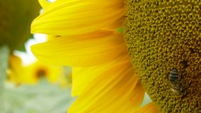 Honey bee collecting pollen from blooming sunflower stock video footage
