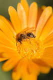 Honey bee collecting nectar and pollen Stock Photos