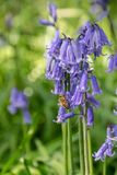 Honey bee collecting nectar pollen from woodland wild bluebell flowers. In early spring stock photos
