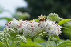 Honey bee collecting nectar on white flower. Royalty Free Stock Photography