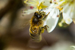 Honey Bee collecting nectar from a white flower Royalty Free Stock Photo