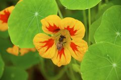 YELLOW STRIPPED BEE ON FLOWER. Honey bee collecting pollen from a beautiful yellow and orange Nasturtium flower Royalty Free Stock Image
