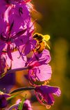 Honey bee collecting pollen from blooming flowers stock images