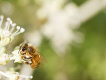 Honey Bee collecting pollen on blurred bokeh background. Bee collecting pollen on White flower with blurred green background photo royalty free stock photo