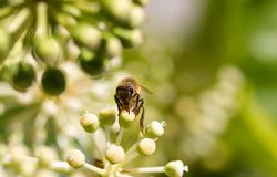 Honey Bee collecting pollen on blurred bokeh background Stock Photos