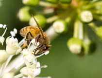 Honey Bee collecting pollen on blurred bokeh background. Bee collecting pollen on White flower with blurred green background photo stock photos