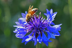 Honey bee collecting pollen Royalty Free Stock Images