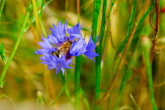 Honey bee collecting pollen Stock Photos