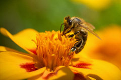 Honey bee collecting pollen Stock Photos