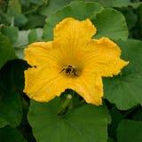 Honey Bee Collecting Pollen de la flor de la calabaza Imágenes de archivo libres de regalías
