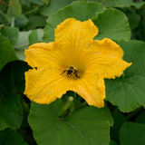 Honey Bee Collecting Pollen der Kürbis-Blume Lizenzfreie Stockbilder
