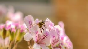 Honey bee collecting pollen from a flower in full bloom stock photography