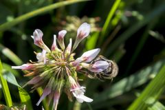 Detail of honeybee in Latin Apis Mellifera, stock photo