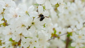 Honey bee collecting pollen from flowers. stock video footage