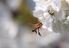 Honey bee collecting pollen from flowers. Stock Photo