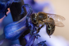 Honey bee collecting pollen from flowers Stock Photo