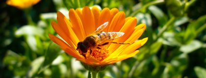Honey Bee collecting pollen from Marigold. Honey Bee collecting pollen for honey from orange Marigold flowers. Photo in Facebook background format Royalty Free Stock Image