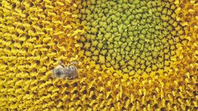 Honey bee collecting pollen and nectar on a sunflower, close-up stock video footage