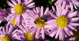 Honey Bee collecting pollen from New York Asters. Honey Bee collecting pollen for honey from Michaelmas Daisy flowers Royalty Free Stock Image