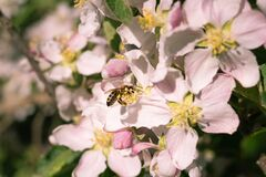Free Honey Bee Collecting Pollen On Apple Tree Blossoms In Spring In South Tyrol Italy; Pesticide Free Environmental Protection Save Th Royalty Free Stock Photography - 171744977