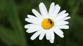 Honey bee collecting pollen on oxeye daisy flower stock footage