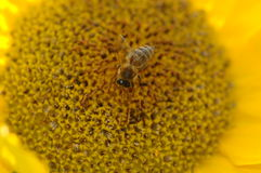 Bee collecting pollen. Photography of Honey bee collecting pollen stock photo