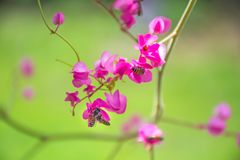 Honey Bee collecting pollen on Pink coral Vine or Mexican Creeper stock photos