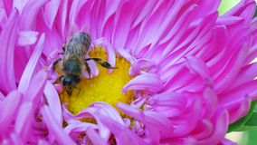 Honey Bee collecting pollen on pink michaelmas daisy or aster flower stock video