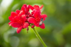 Honey bee collecting pollen from red flowers from red flowers royalty free stock photography