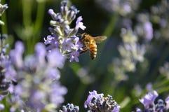 Honey Bee Collecting Pollen From Russisch Sage Blooms Stock Afbeelding