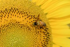 Honey Bee collecting pollen on sunflower. royalty free stock photography