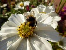 Honey Bee Collecting Pollen van Witte Kosmos royalty-vrije stock afbeeldingen