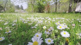 Honey Bee Collecting Pollen On weiße Daisy Flowers stock video footage