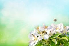 Honey bee collecting pollen on white apple. Spring time background.  royalty free stock photo