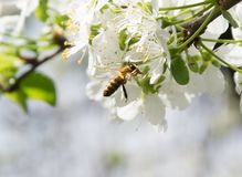 Honey Bee collecting pollen on white cherry blossom tree.  stock photo