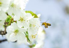 Honey Bee collecting pollen on white cherry blossom tree.  stock image