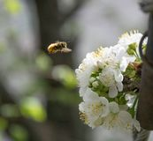Honey Bee collecting pollen on white cherry blossom tree.  royalty free stock photo