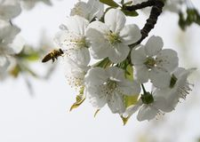 Honey Bee collecting pollen on white cherry blossom tree.  royalty free stock image