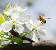 Honey Bee collecting pollen on white cherry blossom tree royalty free stock photo