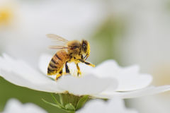 Honey bee. Collecting pollen from white cosmos flower Royalty Free Stock Images