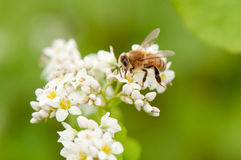 Honey Bee. Collecting pollen on a white flower Royalty Free Stock Photography