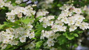 Honey bee collecting pollen from white flowers. stock video