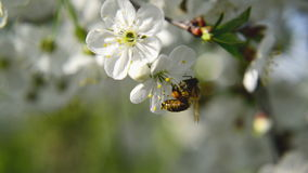 Honey Bee collecting pollen from white pear blossoming flowers. Spring season. Royalty Free Stock Image